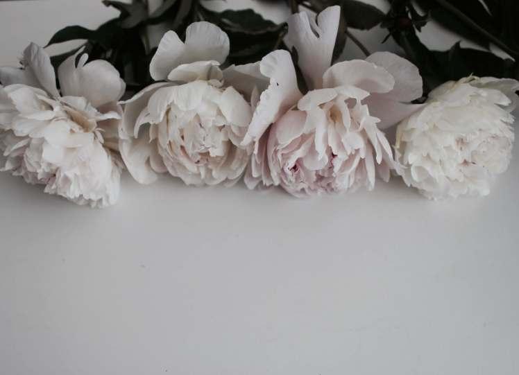Blumenfotografie: Weiße Pfingstrosen