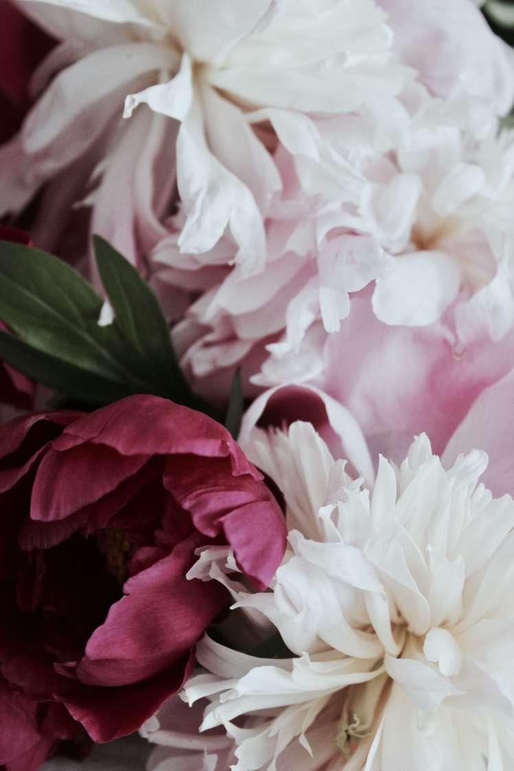 Blumenfotografie ° Pfingstrosen in Pink und Rosa
